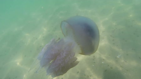 rhizostoma : Floating in the thickness of the water in the Black Sea, commonly known as the barrel jellyfish (dustbin-lid, frilly-mouthed jellyfish), scyphomedusae. Black Sea Stock Footage