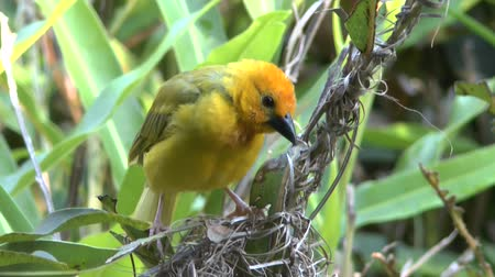 realizing : Safari Kenya weaver bird Stock Footage