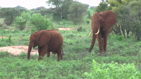 realizing : Safari Kenya elephants Stock Footage