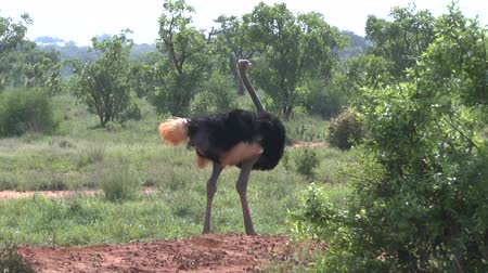 realizing : Safari Kenya bird ostrich
