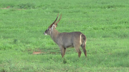 realizing : Safari Kenya Waterbuck