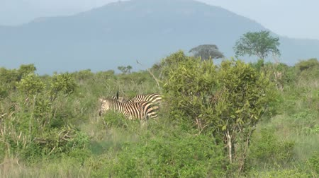 realizing : Safari Kenya Zebra Stock Footage