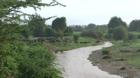 realizing : Safari Kenya buffalo