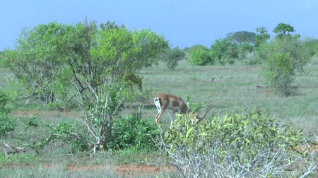 realizing : Safari Kenya Gazelle