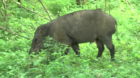 realizing : Safari Kenya Boar