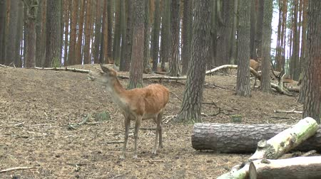 hind : Red deer in the forest