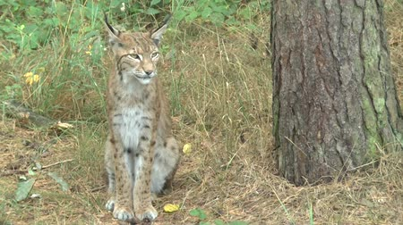gato selvagem : Lynx in the forest
