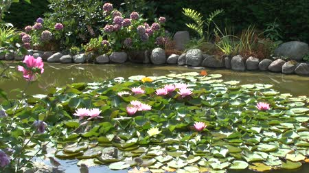 lilyum : Sparrows bathe in the garden pond on lily pads