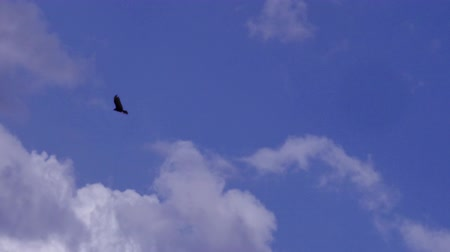 sas : A lone male bald eagle soars above in a bright blue cloudy sky