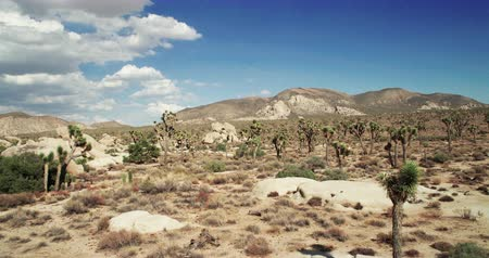 szalma : Landscape view of Joshua Tree National Park with Yucca and Joshua Tree. Desert view, cholla cactus garden.