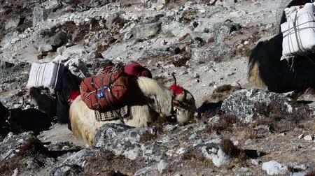 Yaks mit Expedition am Himalaya-Berg, Nepal.