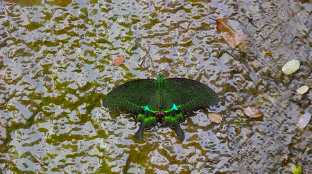 хрупкость : green phoenix butterfly in water