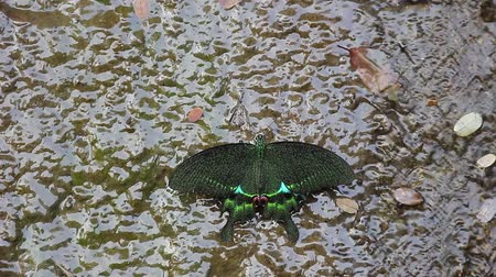 sucking : green phoenix butterfly in water