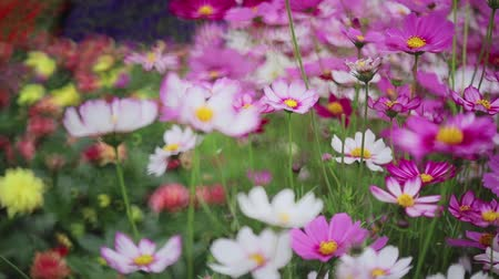 the Cosmos flower on a green back ground closeup