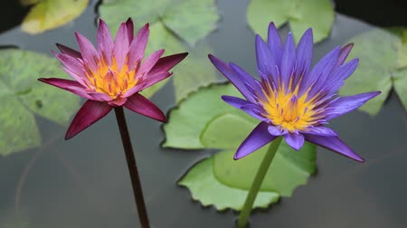 momento : waterlily flower time lapse