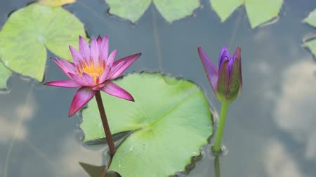 blooms : lotus time lapse Stock Footage