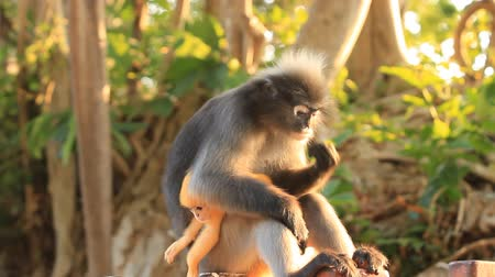 majom : baby and mother dusky leaf monkey