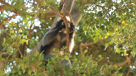 animal jovem : eating dusky leaf monkey