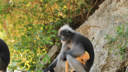 forest animals : young dusky leaf monkey