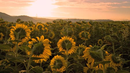 sunrise on sunflower field time lapse