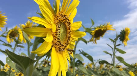 bee fly on sunflower field slow motion at a rate of 120 fps.