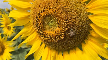 closeup bee on sunflower slow motion at a rate of 120 fps. Dostupné videozáznamy