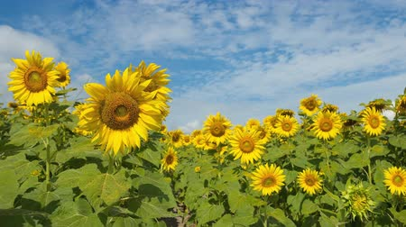 blue sky with cloud on sunflower field time lapse