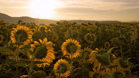 čas : 4K time lapse sunrise on sunflower field