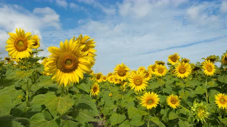 4K blue sky with cloud on sunflower field time lapse Vídeos