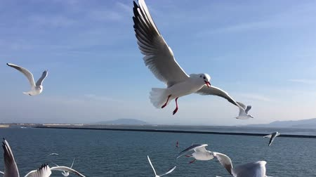 napfény : Seagull flying slow motion Kumamoto harbor,Japan Stock mozgókép