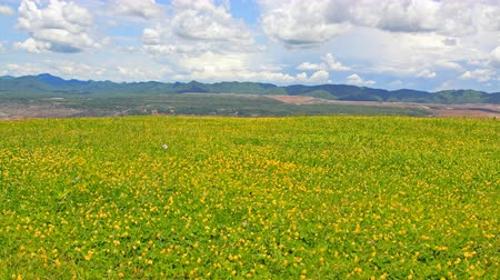 Beautiful yellow flower fields blossom at Mae Mo , Lampang, Thailand.