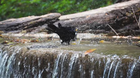 bird bath drinking with water splashing from waterfall slow motion.