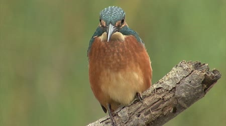 atthis : Bird Kingfisher