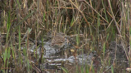 worms eye view : Small bird Water pipit finding insects in mud lake