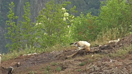 гриф : Egyptian vulture eating carcass landed on a rock in high mountain