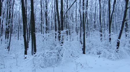 walkthrough : Tracking Stabilized shot through snowy oak forest trees in the winter