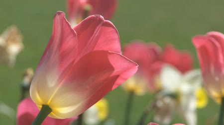 otlak : Tulips moving in the wind