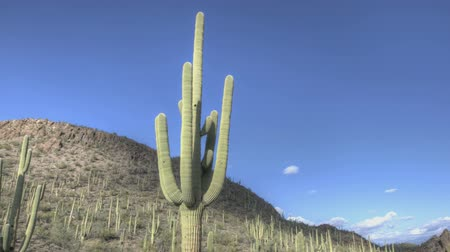 prominent : HDR Timelapse Arizona Cactus with a blue sky while clouds passing by