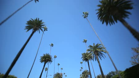 деревья : Driving through Palm Trees in Beverly HillsLos Angeles