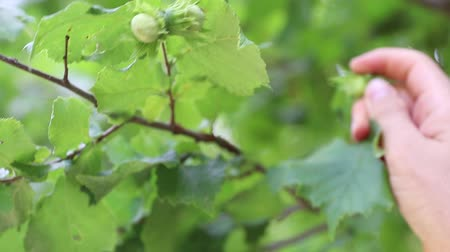 avelã : hazelnuts on a tree grows in the forest
