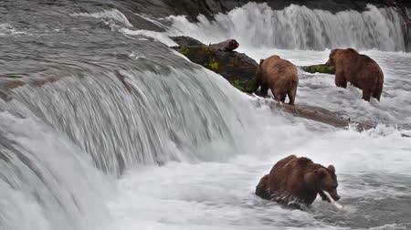 хищник : Footage of Grizzly Bear Catching Salmon at Brooks Falls, Alaska