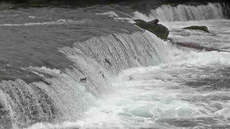 plavat : Salmon Jumping up the Brooks Falls in Alaska