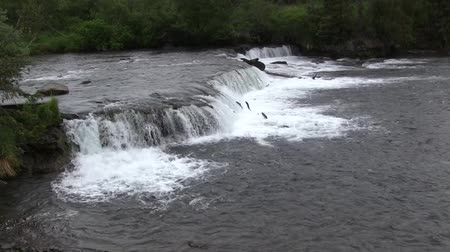 ток : View of Brooks Falls with School of Salmon Jumping Up