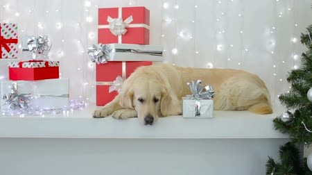 retriever : Golden Retriever with Christmas gifts. Stock Footage