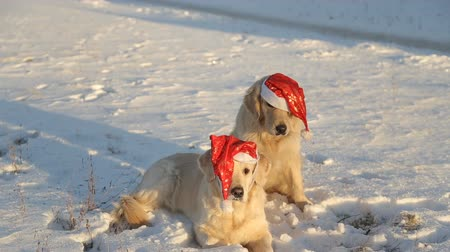 brotos : two dogs are golden retrievers in Christmas red hats. Retriever takes off the cap from the other.