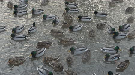 duck pond : ducks breed mallards swim in the lake, fighting for food.