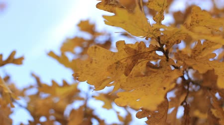 dead forest : Oak Branch with yellow leaves