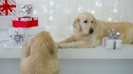 rhombic : Golden Retriever with Christmas gifts. Stock Footage