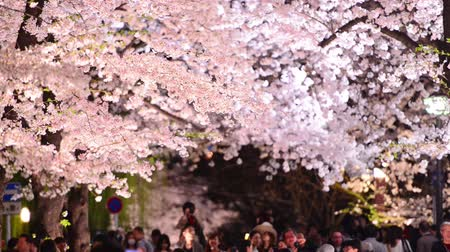 baumblüte : Kyoto, Japan - CIRCA APRIL 2014: Crowds Schar am Shirakawa Viertel in der Nacht während der Frühjahrssaison. Der Jahres Kirschblüten bringt große Mengen an Touristen. Videos