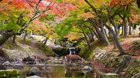 jelen : Deer cross a small stream in Nara, Japan during the autumn season. Wideo